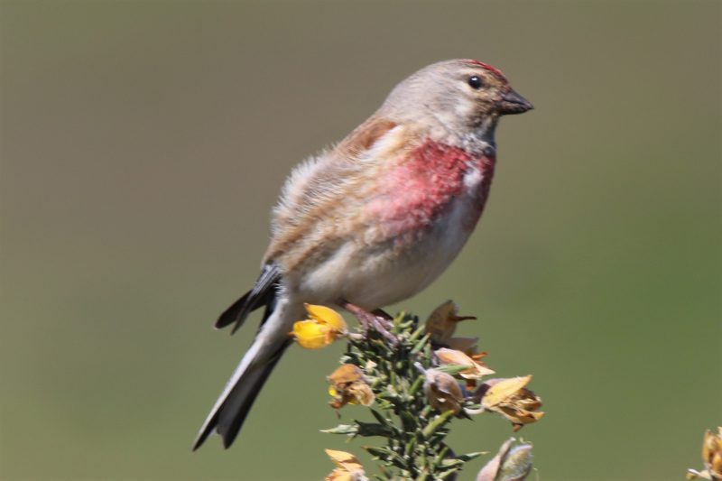 Linnet by Andy Tew - May 5th, Pennington Marshes