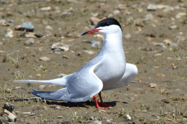 Common Tern by Andy Tew - May 5th, Pennington Marshes