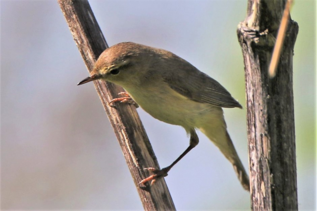 Willow Warbler by Andy Tew - May 5th, Pennington Marshes