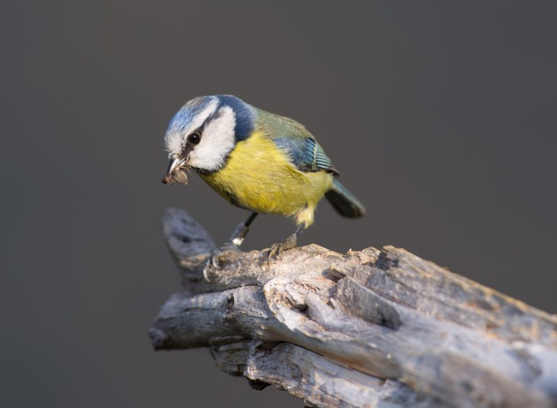 Blue Tit by David Cuddon - May 13th, Blashford Lakes