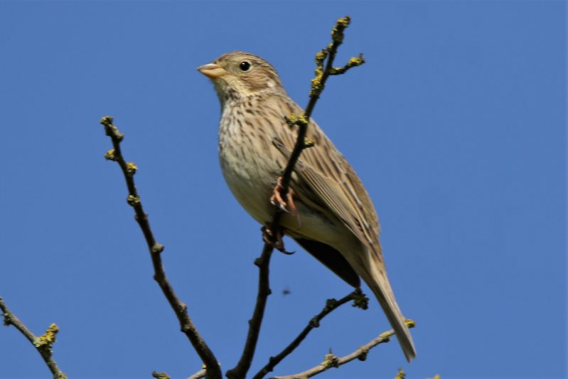 Corn Bunting by Andy Tew - May 9th, Martin Down