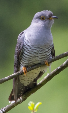 Cuckoo by David Cuddon - May 5th, New Forest