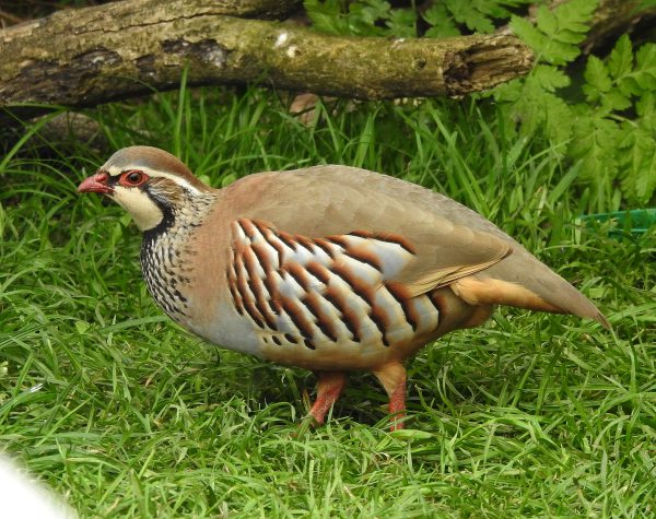 Red-legged Partridge by Dave Levy - Apr 23rd, Basingstoke