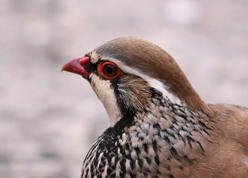 Red-legged Partridge by Dave Levy - May 12th, Basingstoke