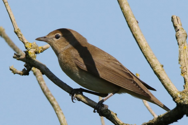 Garden Warbler by Andy Tew - May 7th, Fishlake Meadows