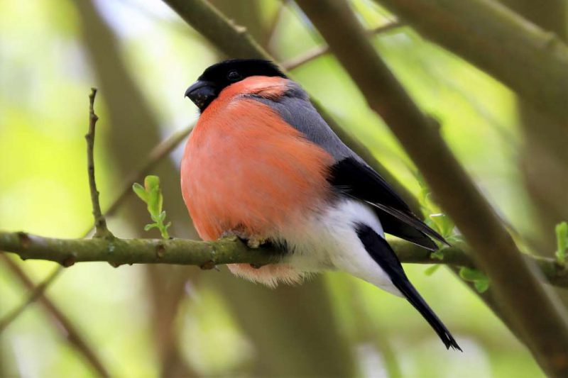 Bullfinch by Brian Cartwright - May 1st, Anton Lakes