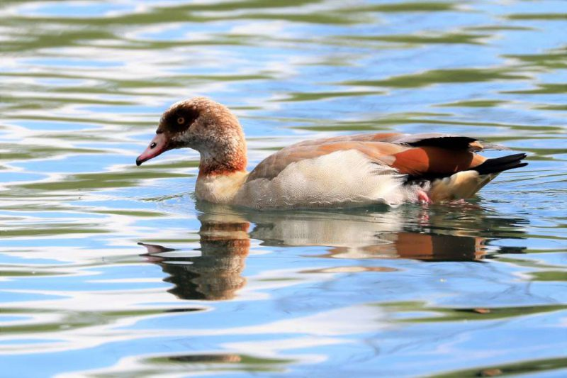 Egyptian Goose by Brian Cartwright - May 1st, Anton Lakes