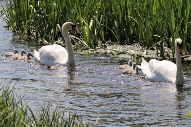 Mute Swan by Brian Cartwright - May 15th, Anton Lakes