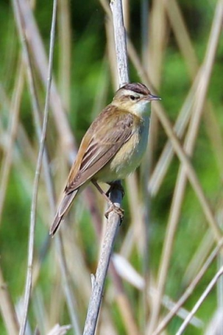 Sedge Warbler by Brain Cartwright - May 19th, Anton Lakes