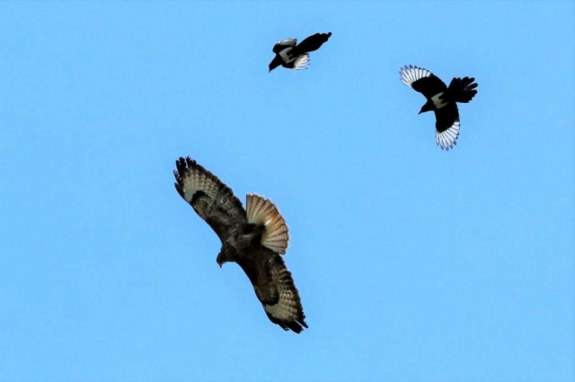 Buzzard, Magpie by Brain Cartwright - May 20th, Anton Lakes