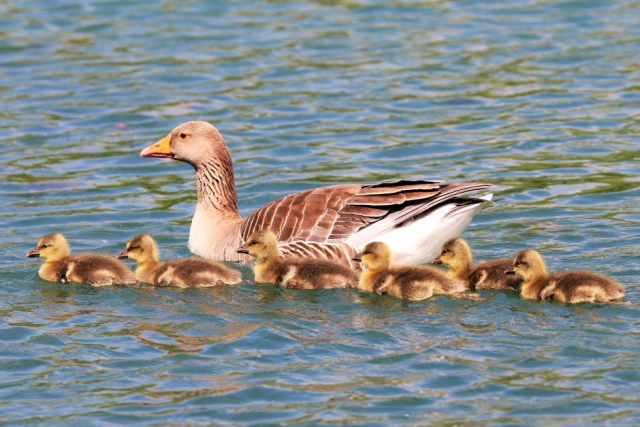 Greylag by Brain Cartwright - May 22nd, Anton Lakes