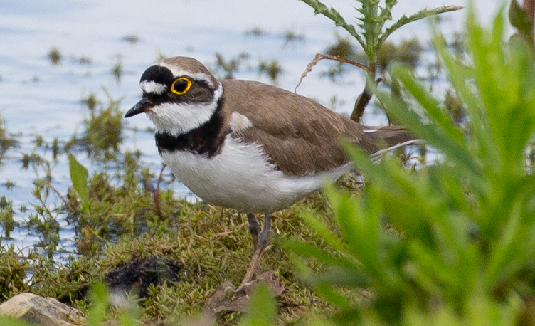 Little Ringed Plover by David Cuddon - May 13th, Blashford Lakes
