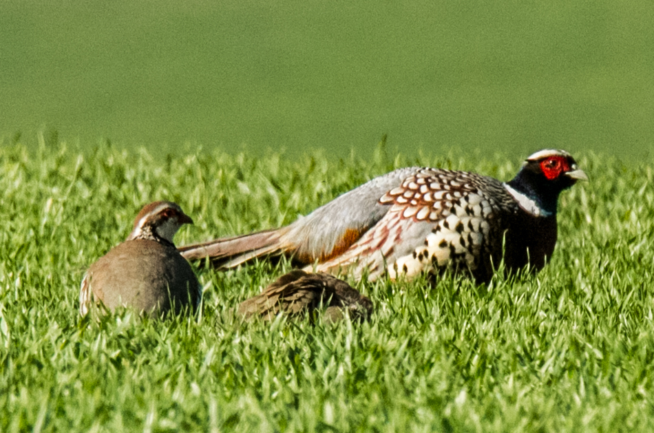 Red-legged Partridge, Pheasant by Mike Duffy - May 6th, Ashley Warren