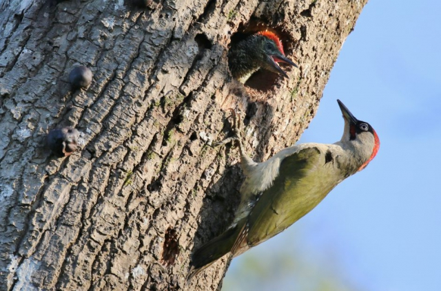 Green Woodpecker by Terry Jenvey - June 14th, Wooton Woods