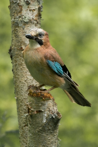 Jay by David Cuddon - June 12th, Blashford Lakes