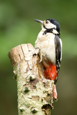 Great Spotted Woodpecker by David Cuddon - June 12th, Blashford Lakes