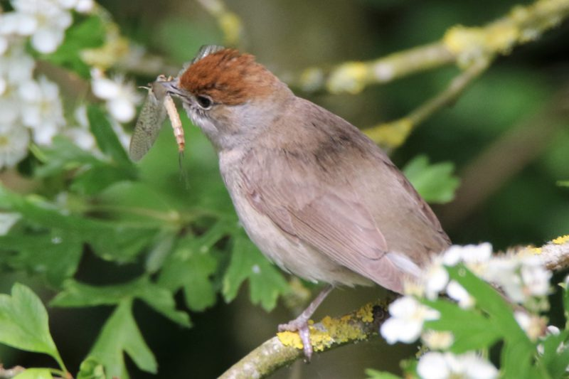 Blackcap by Andy Tew - May 25th, Fishlake Meadows