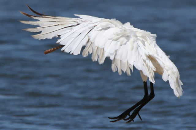 Spoonbill by Andy Tew - June 6th, Pennington Marshes