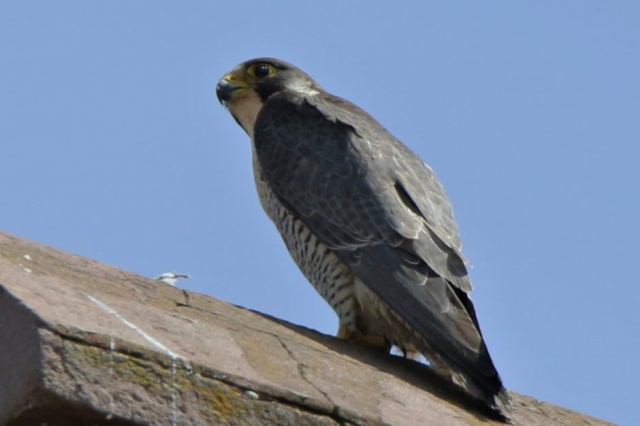 Peregrine by Andy Tew - June 6th, New Milton