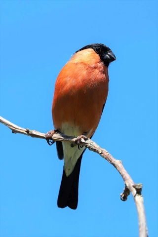 Bullfinch by Brian Cartwright - June 26th, Anton Lakes