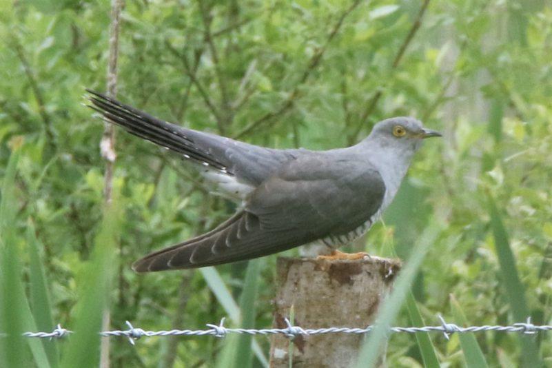 Cuckoo by Andy Tew - May 25th, Fishlake Meadows