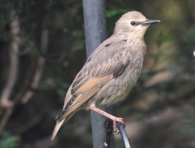 Starling by Dave Levy - June 8th, Basingstoke