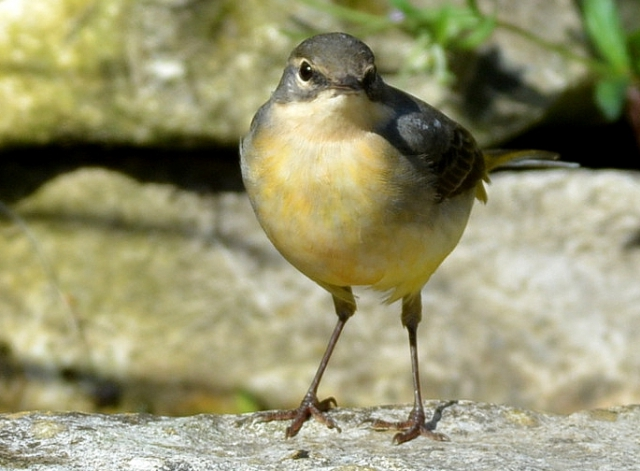 Grey Wagtail by Dave Levy - May 30th, Basingstoke