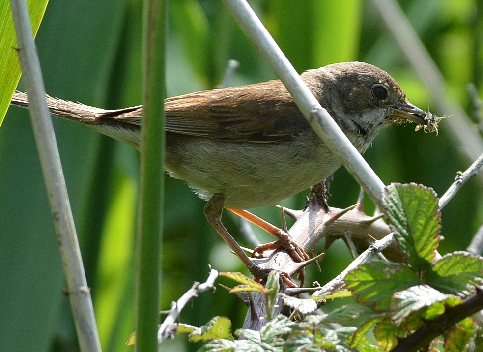 Whitethroat by Dave Levy - June 1st, Hazeley Heath