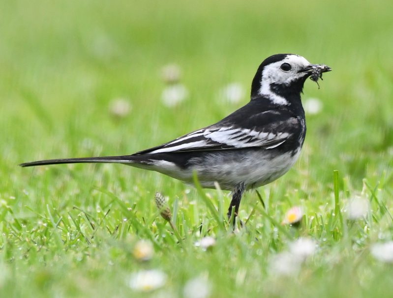 Pied Wagtail by Dave Levy - May 30th, Basingstoke