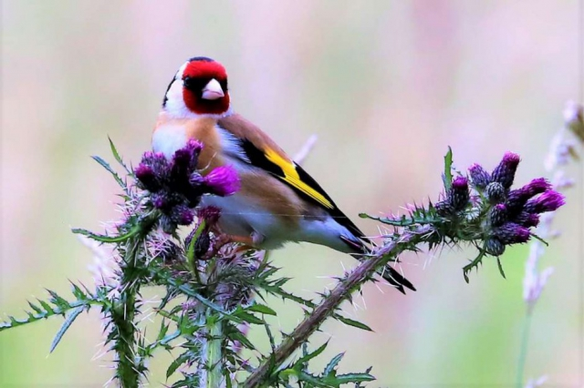Goldfinch by Brian Cartwright - June 18th, Anton Lakes