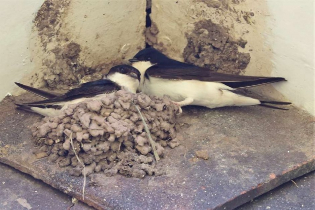 House Martin by Brian Cartwright - June 23rd, Stockbridge
