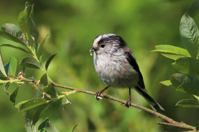 Long-tailed Tit by Brian Cartwright - May 23rd, Anton Lakes