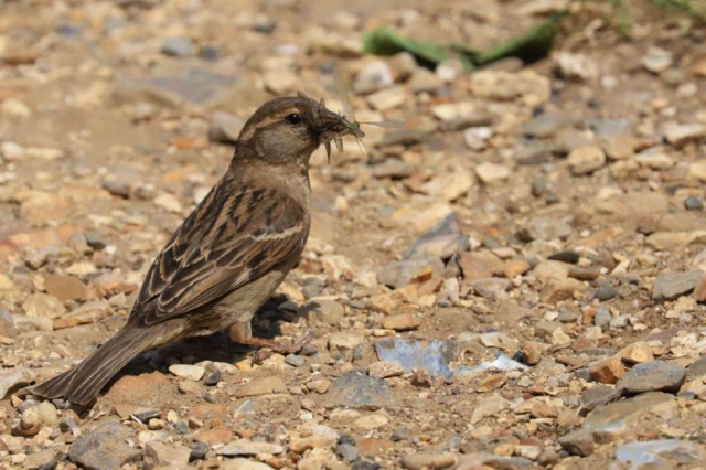 House Sparrow by Brian Cartwright - May 23rd, Anton Lakes