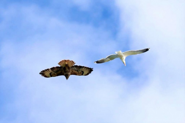 Buzzard, Lesser Black-backed Gull by Brian Cartwright - June 11th, Anton Lakes
