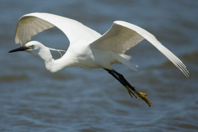 Little Egret by David Cuddon - June 18th, Pennington Marsh