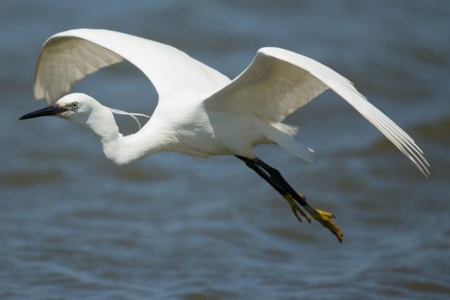 Little Egret by David Cuddon - June 18th, Pennington Marsh
