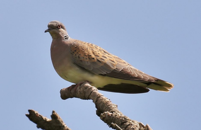 Turtle Dove by Terry Jenvey - June 22nd, Martin Down