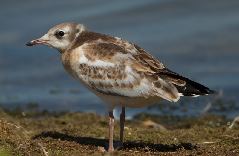 Black-headed Gull by David Cuddon - July 23rd, Blashford Lakes