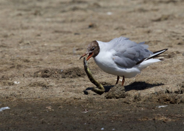 Black-headed Gull by Martin Bennett - July 24th, Pennington Marshes