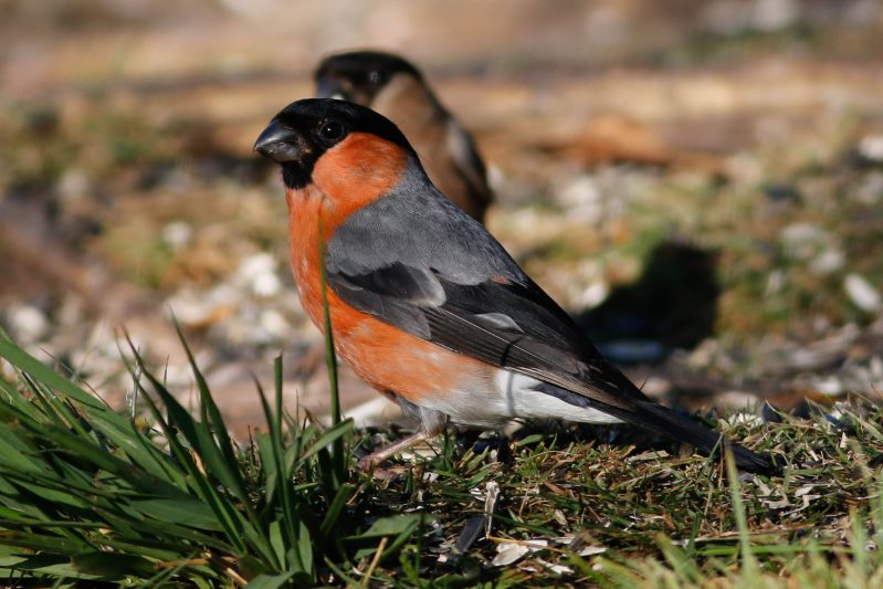 Bullfinch by Marcus Ward - June, New Forest