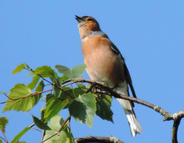 Chaffinch by Dave Levy - July 9th, Basingstoke