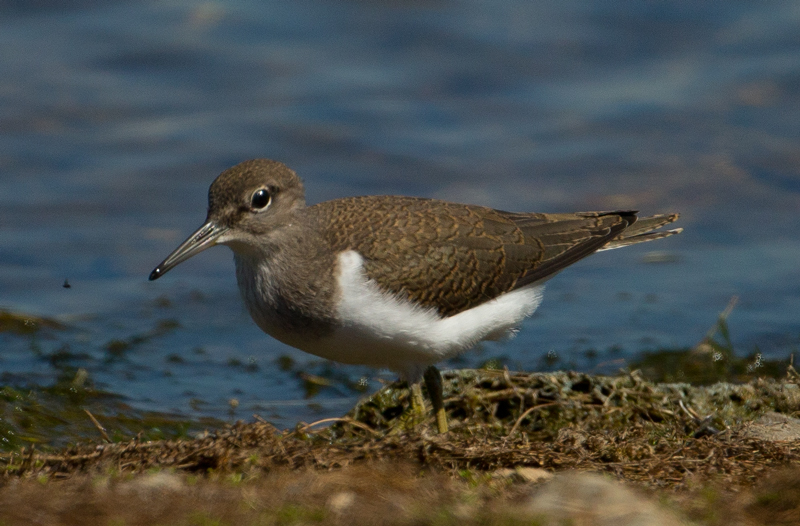 Common Sandpiper by David Cuddon - July 23rd, Blashford Lakes