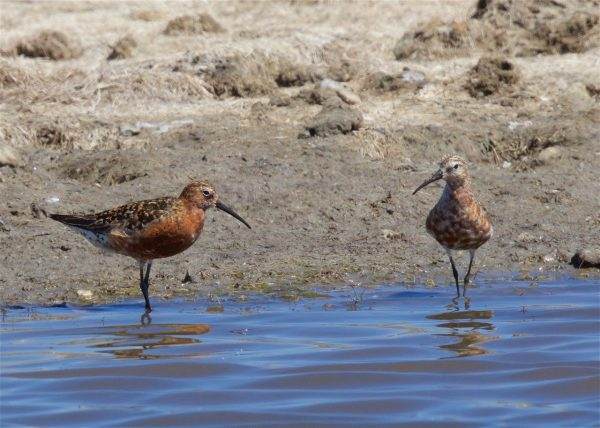 Curlew Sandpiper by Martin Bennett - July 24th, Pennington Marshes