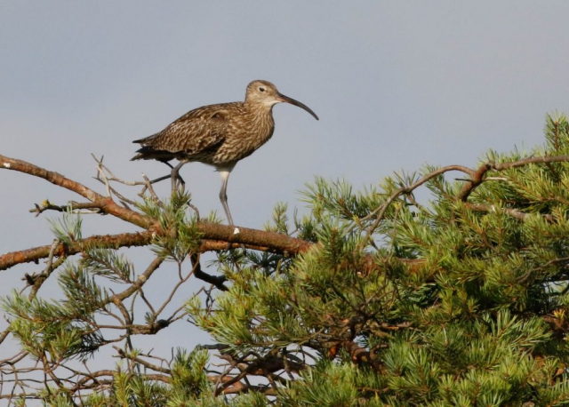 Curlew by Marcus Ward - July 10th, New Forest