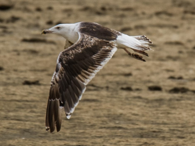 Great Black-backed Gull by Mike Duffy - July 19th, Keyhaven