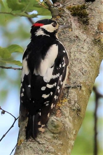 Great Spotted Woodpecker by Brian Cartwright - June 30th, Anton Lakes