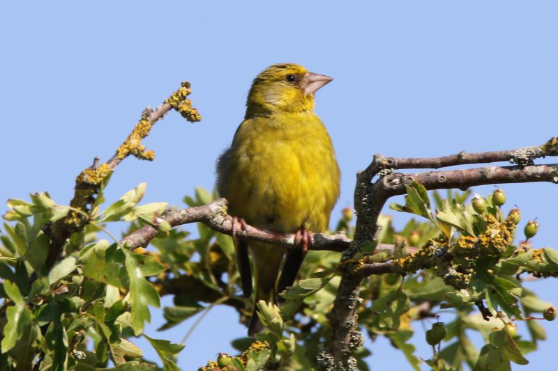 Greenfinch by Andy Tew - July 5th, Pennington