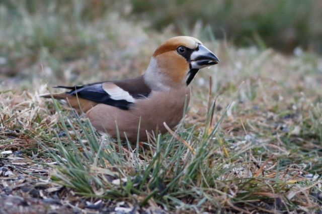 Hawfinch by Marcus Ward - June, New Forest