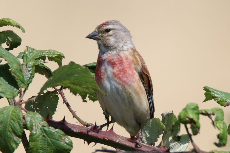 Linnet by Andy Tew - July 5th, Pennington