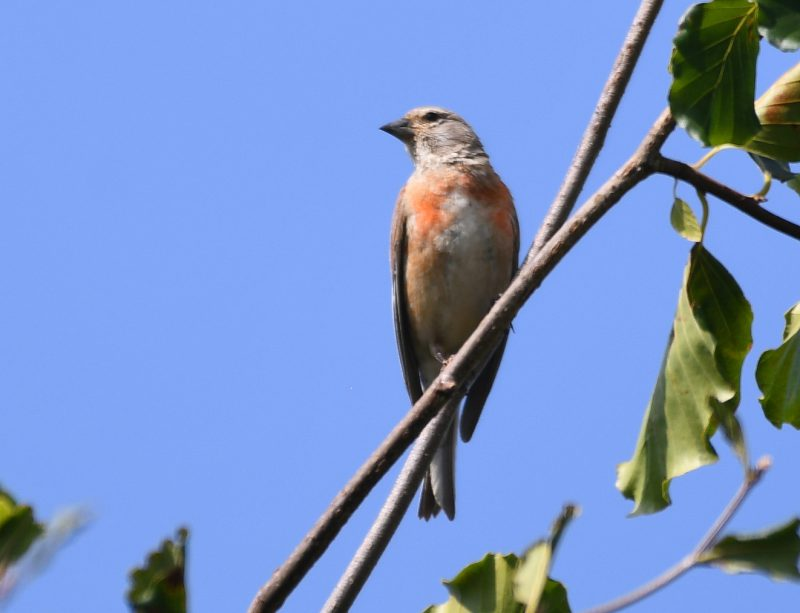 Linnet by Dave Levy - July 9th, Basingstoke